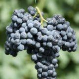 Мускат донской сорт винограда