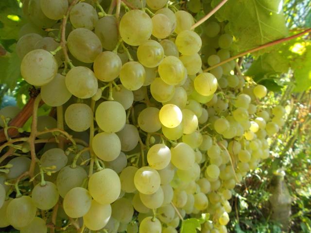 Сорт Винограда Краса Севера