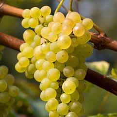 Сорт винограда Мускат Одесский