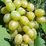 виноград Илья