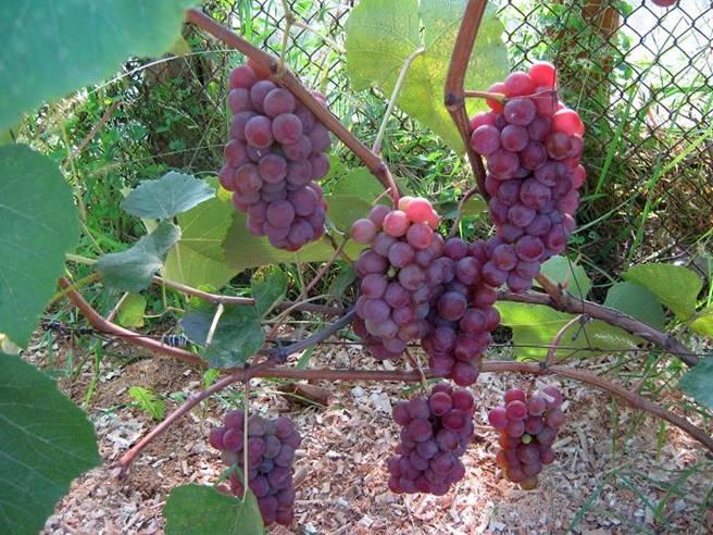 виноград Люсиль