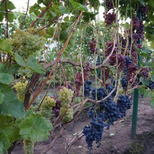 виноград крайнова - сорта