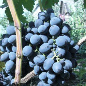 гроздь сорта мускат черный