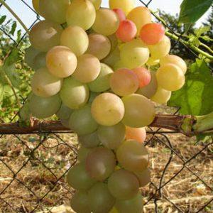 Лия - гроздь