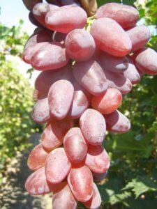 гроздь вишневого