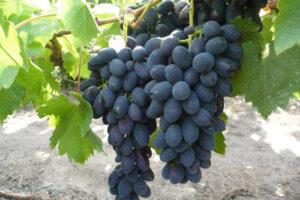 гроздь винограда шарова
