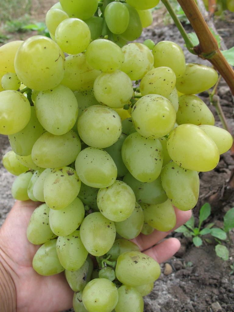 виноград Настя
