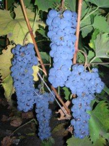 гроздь ливадийского черного
