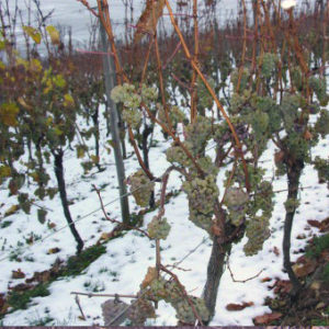 виноград Мариновский зимой