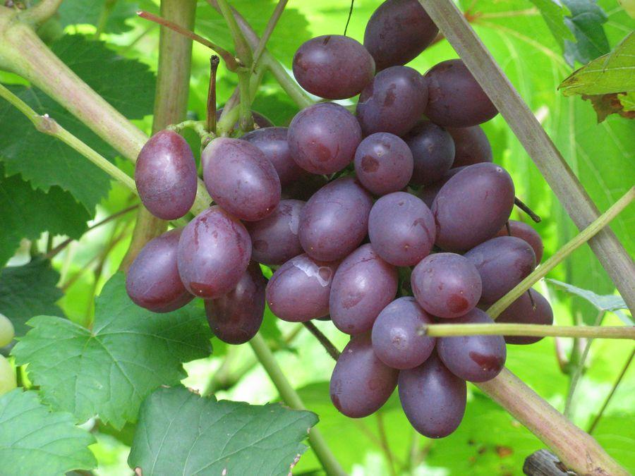 столовый виноград Зодиак