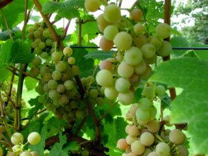 характеристика - виноград Дублянский