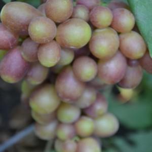 виноград Королек кисть