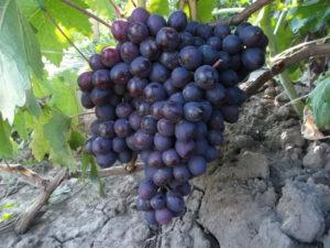 Сорт винограда Новошахтинский