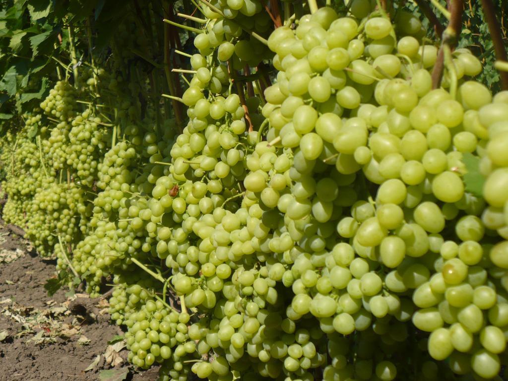 посадка винограда Настя