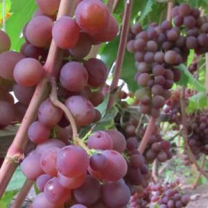 Универсальный белорусский сорт - виноград Минский розовый