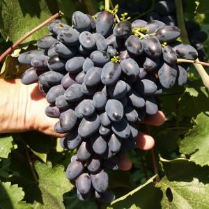 гибрид атос виноград
