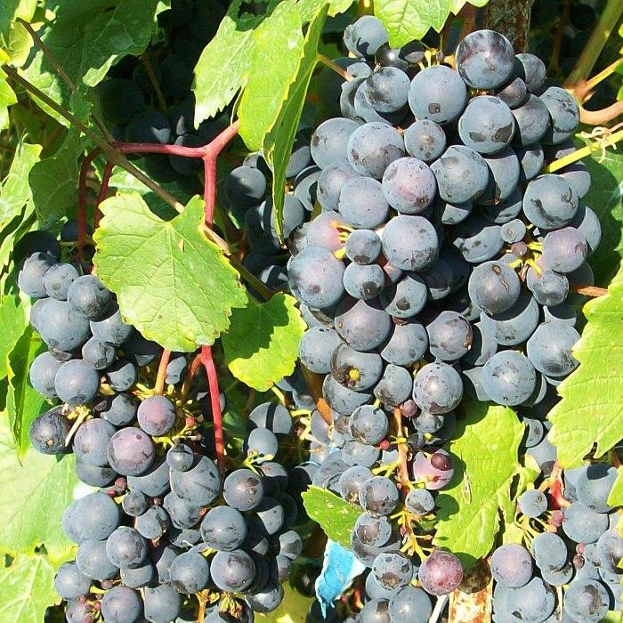 виноград Мариновский описание