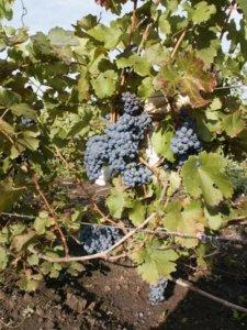 виноград гранатовый - описание