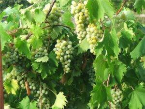 сорт винограда Дублянский