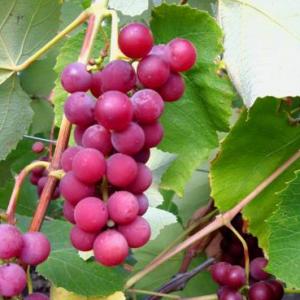 гроздь винограда сорта Люсиль