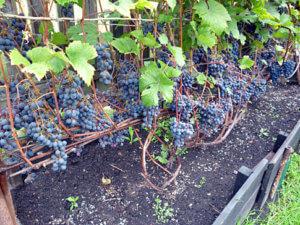 описание винограда загадка шарова