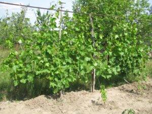 виноград византия