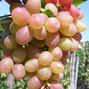 сорт винограда Овация