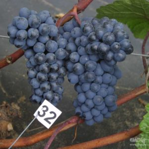 Амурский Потапенко - фото винограда