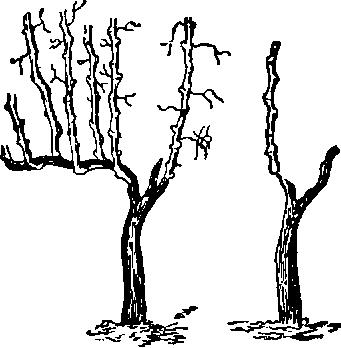 формировка кустов 2 этап
