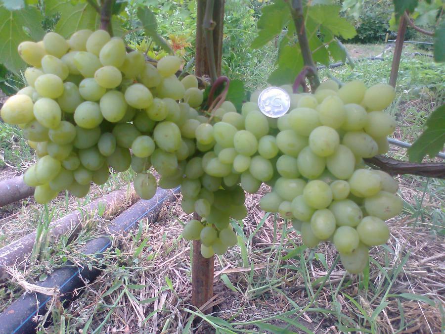 характеристика сорта винограда Илья