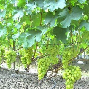 виноград аксинья уход