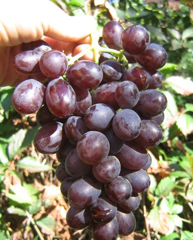 виноград Зодиак