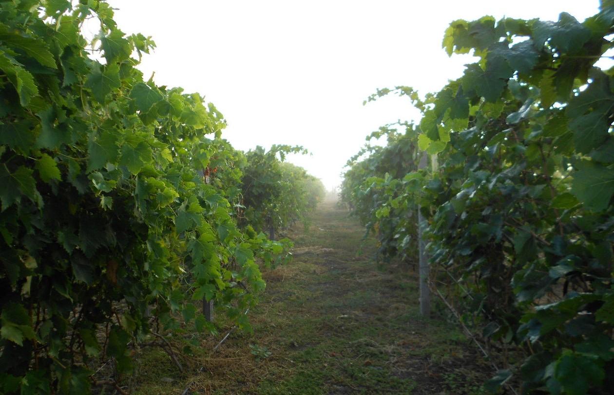 виноград Катавба - уход
