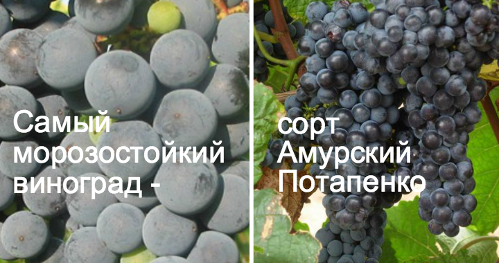 Амурский Потапенко виноград