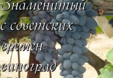 Знаменитый с советских времен - виноград Кутузовский