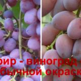 виноград зефир