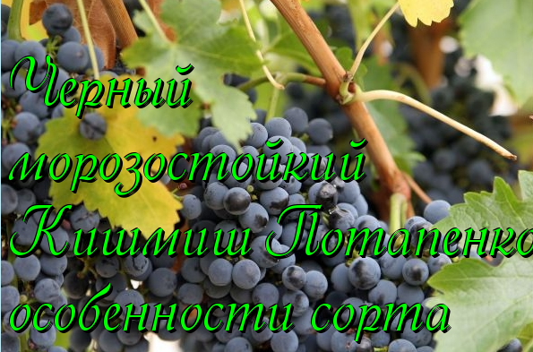 виноград кишмиш потапенко