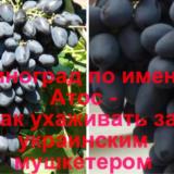 Виноград Атос