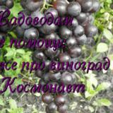виноград Космонавт