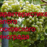 сорт Московский белый