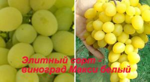 элитный сорт - виноград Макси белый
