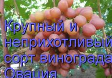 виноград Овация