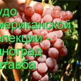 виноград Катавба