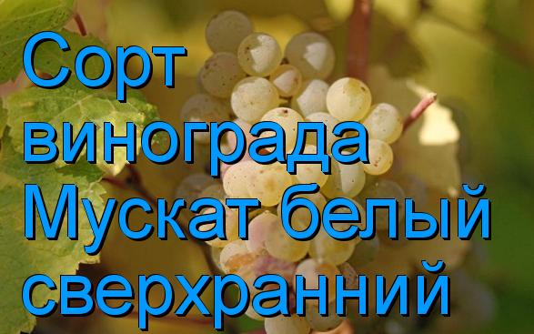 виноград Мускат белый сверхранний