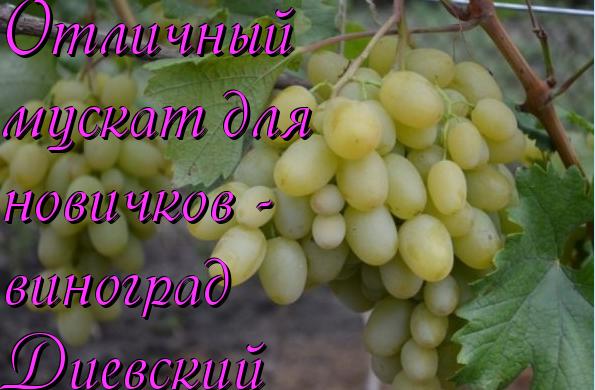виноград мускат диевский