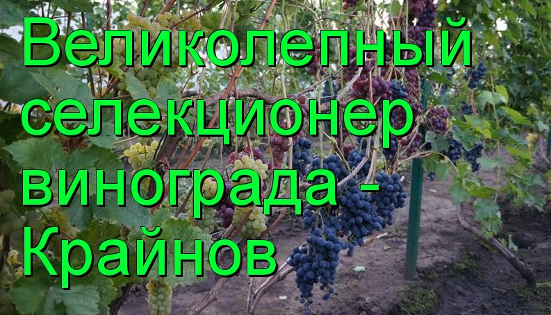 виноград Крайнова