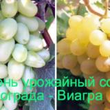 сорт винограда виагра