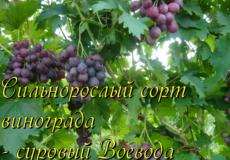 виноград воевода