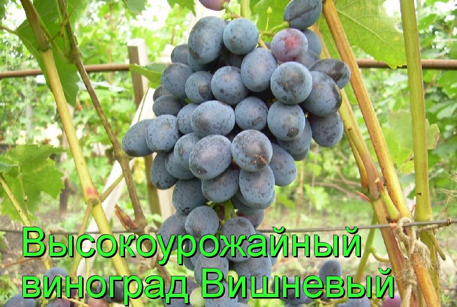 виноград вишневый