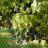 виноград универсал вэлиант